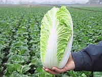Эмико F1 - семена пекинской капусты, Bejo - 2 500 семян, фото 1