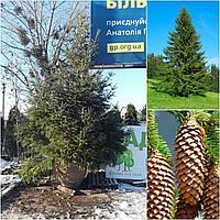 Ель европейская (Picea abies) / H 400 / ком