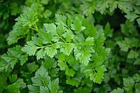 Риалто - семена листовой петрушки, Bejo - 50 грамм, фото 1