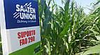 Семена кукурузы Зупорто