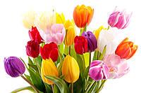 Живые тюльпаны с доставкой, фото 1