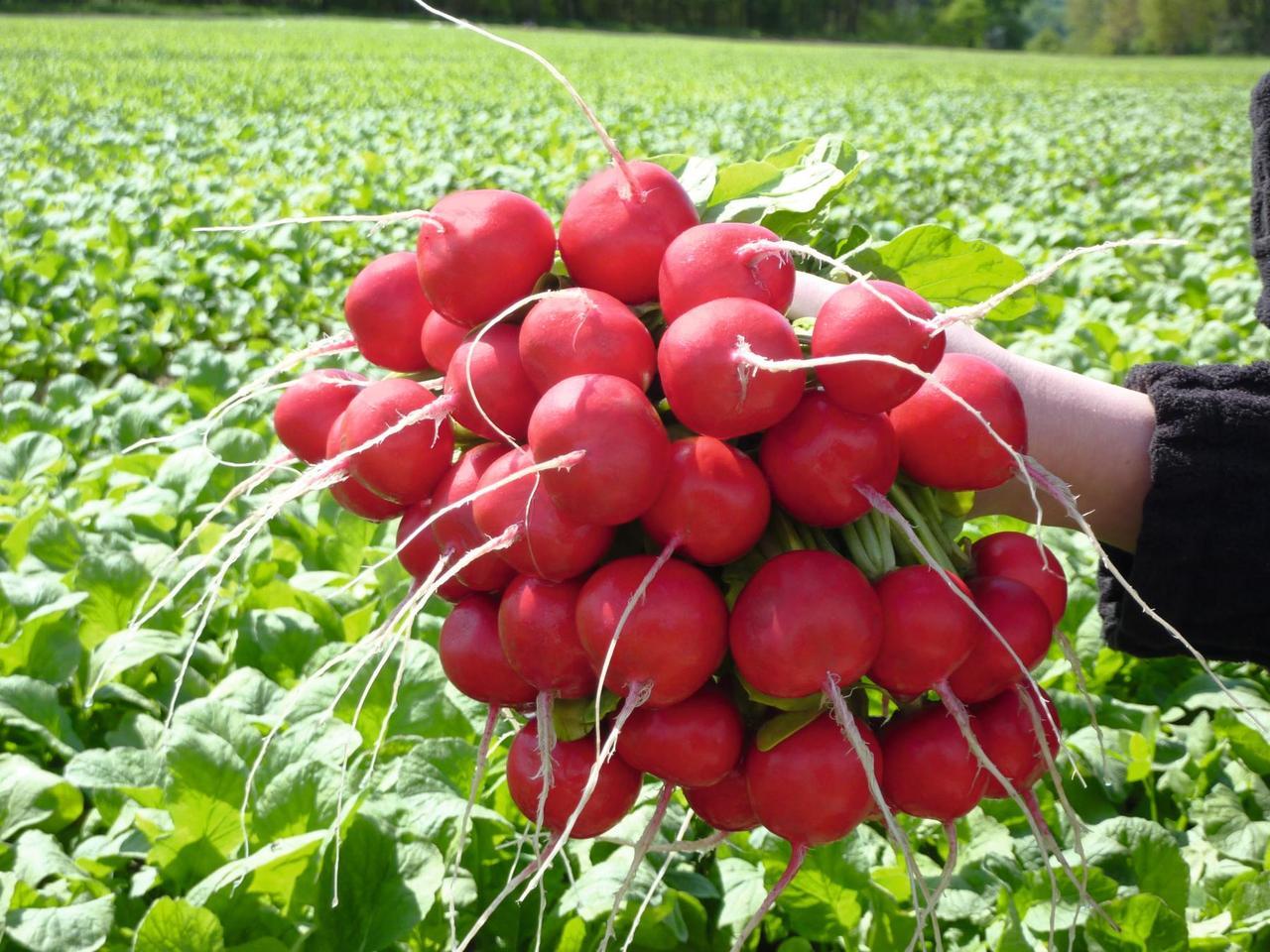 Розетта F1 - семена редиса, Bejo - 5 000 семян 2.25-2.50