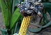 Пухирчаста сажка на кукурудзі. Як попередити захворювання?