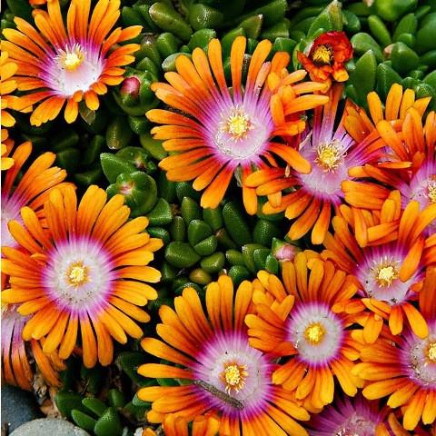 Киев купит цветы делосперма