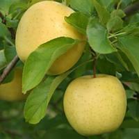 Яблоня Голден клон Б (карликовый подвой М9)
