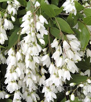 """Дейция изящная Никко \ Deutzia gracilis """"Nikko """" ( саженцы ), фото 2"""