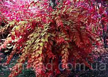"""Кольквиция прекрасная Пинк Клауд \ Kolkwitzia amabilis """"Pink Cloud"""" ( саженцы), фото 3"""