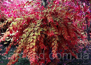 Кольквиция прекрасная Бьюти Буш \ Kolkwitzia amabilis  Beauty bush ( саженцы), фото 3