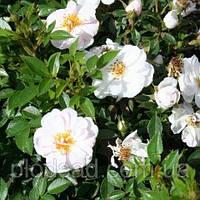 Роза миниатюрная Ажен Каве