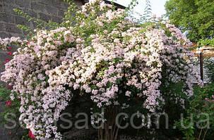 Кольквиция прекрасная Бьюти Буш \ Kolkwitzia amabilis  Beauty bush ( саженцы), фото 2