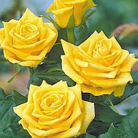 Саженцы плетистых роз Голден Шоуерс,