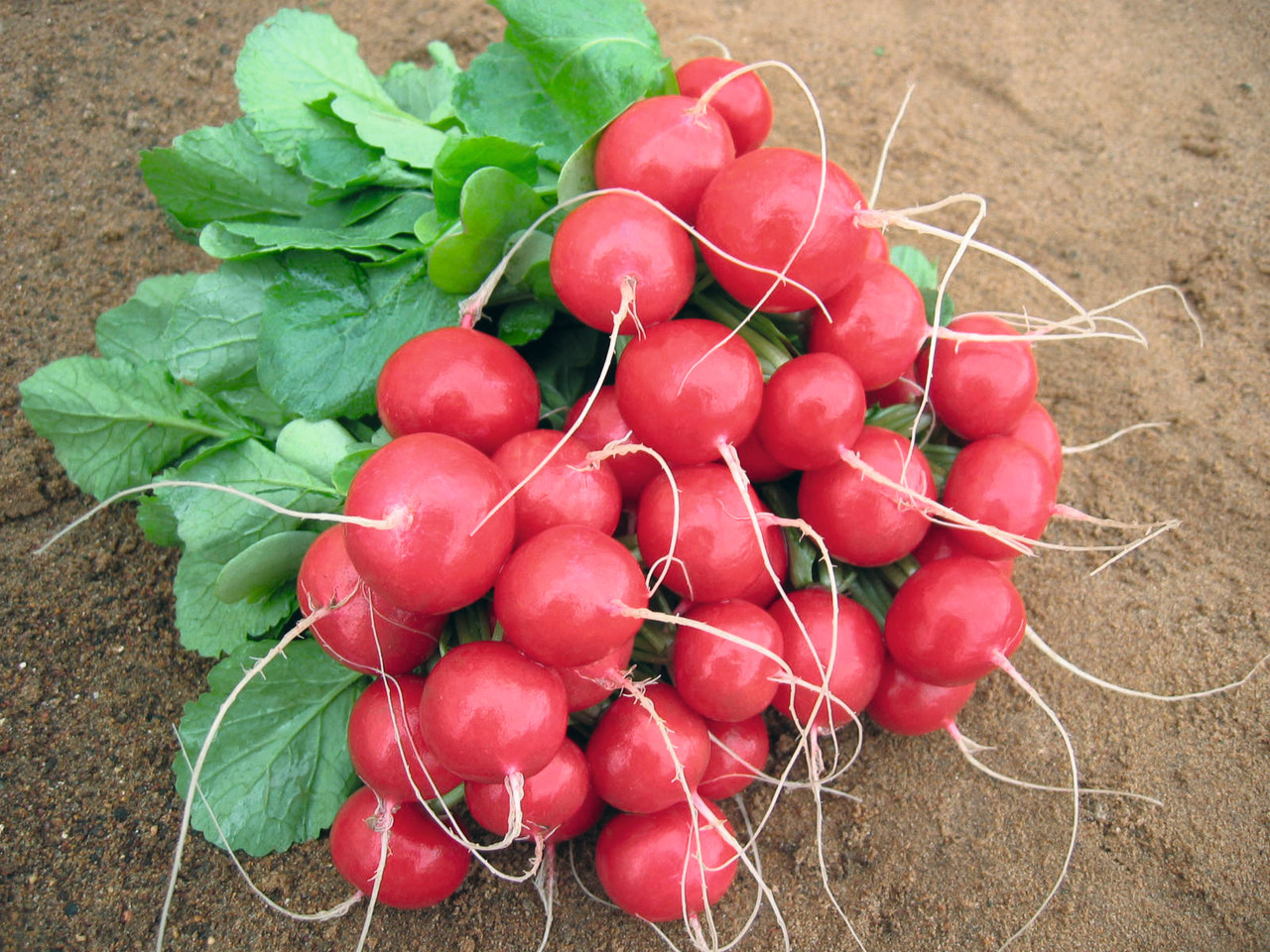 Ролекс F1 - семена редиса, Bejo - 5 000 семян 2.50-2.75