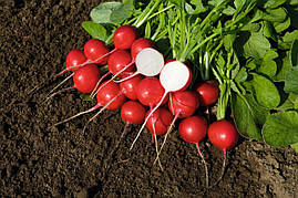 Семена редиса Ровер F1, Bejo 50 000 семян (2.25-2.50) | профессиональные