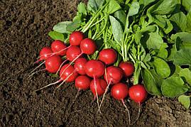 Семена редиса Ровер F1, Bejo 5 000 семян (2.25-2.50) | профессиональные