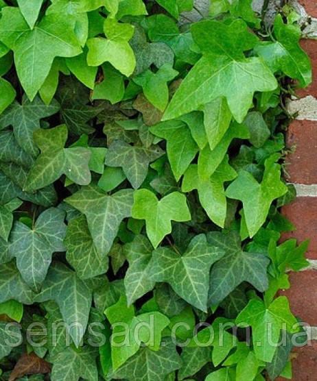 Плющ садовый вечнозеленый \ Hedera helix ( саженцы р9  )