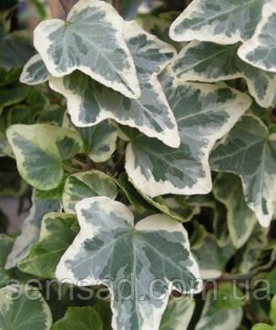 """Плющ садовый вечнозеленый  Грация"""" \ Hedera helix 'Glacier'  ( саженцы ), фото 2"""