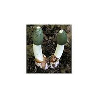 Настойка гриба веселки, 1 л