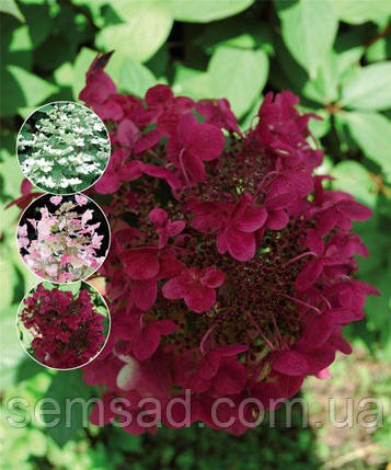 "Гортензия метельчатая "" Вимс Ред""  \ Hydrangea Wim's Red  ( саженцы 1 год), фото 2"