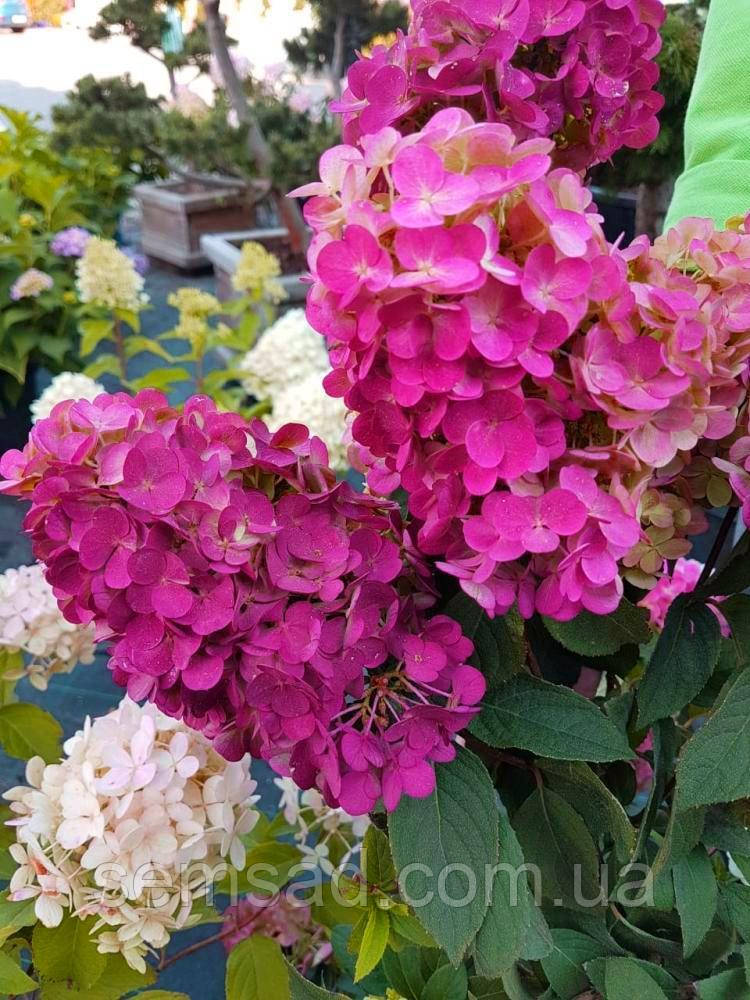 Гортензия метельчатая Долли \Hydrangea paniculata 'Dolly ( саженцы 2 года) Новинка