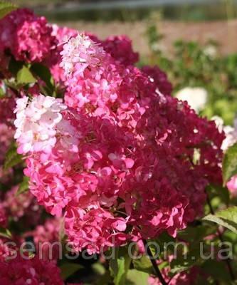 Гортензия метельчатая Фрайз Мельба \ Hydrangea paniculata Hydrangea  Fraise Melba ( саженцы 1 год)
