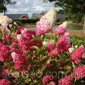 Гортензия метельчатая Фрайз Мельба \ Hydrangea paniculata Hydrangea  Fraise Melba ( саженцы 1 год), фото 2