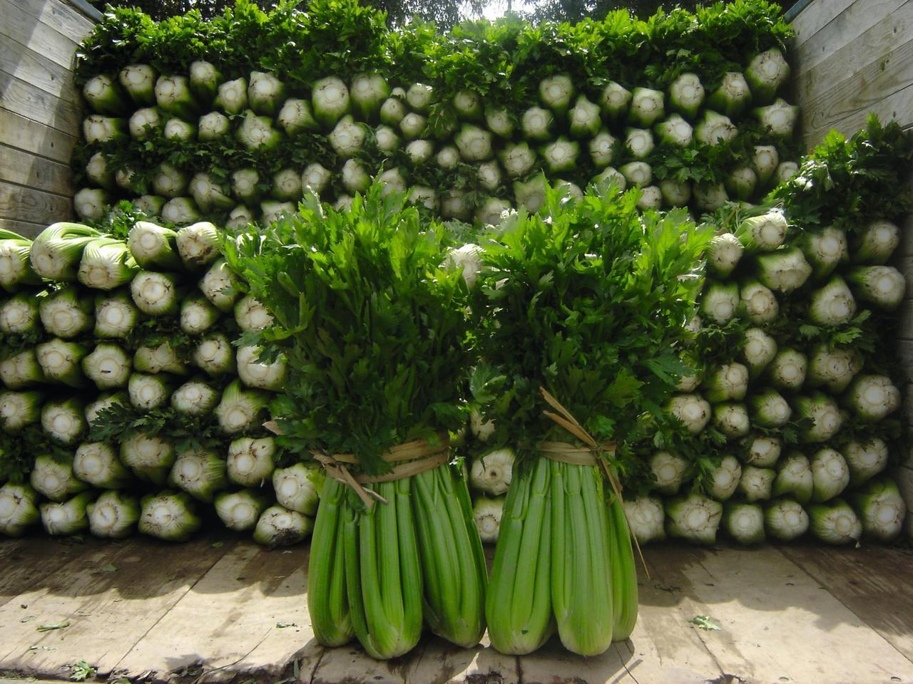 Танго - семена сельдерея, Bejo Zaden - 10 000 семян