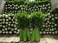 Семена сельдерея Танго, Bejo 10 000 семян   профессиональные