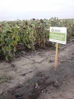Семена подсолнечника Украинское солнышко Екстра