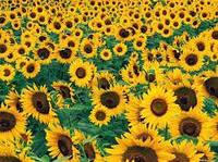 Семена подсолнечника Украинское солнышко Економ