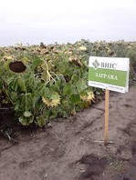 Семена подсолнечника Заграва Екстра