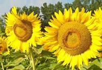 Семена подсолнечника Фолк Стандарт