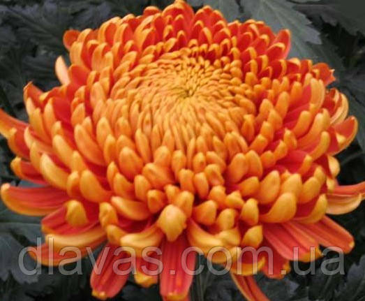 Хризантема крупноквіткова срезочная Diego Rouge