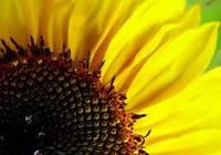 Семена подсолнечника Солнечное настроение Екстра