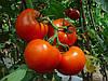 Насіння томату індетермінантного, Барібін F1, (500семян), Syngenta, Швейцарія