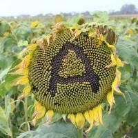 Семена подсолнечника Амато