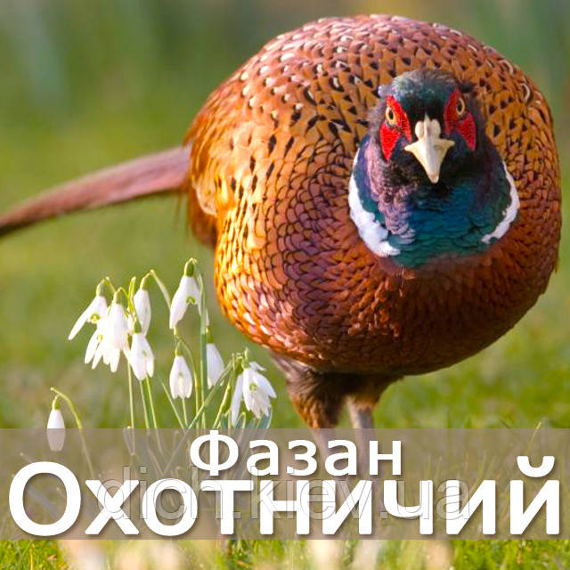 Фазан охотничий - молодняк, взрослые
