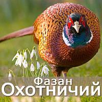 Фазан охотничий - молодняк, взрослые, фото 1