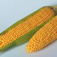 Насіння кукурудзи цукровоі, Тайсон F1, (100000семян), Syngenta, Швейцарія