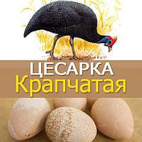 Цесарка Крапчатая (обыкновенная)