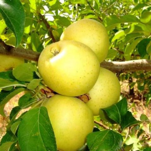 простое яблоня медовая фото описание сказать