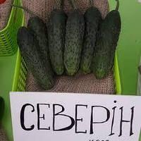 Семена огуреца СЕВЕРИН F1 / SEWERIN F1 500 сем  Enza Zaden / Энза Заден