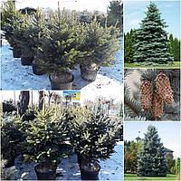 Ель колючая форма голубая (Picea pungens f. glauca) / H 100-120 / ком