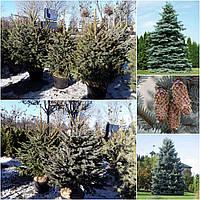 Ель колючая форма голубая (Picea pungens f. glauca) форм. / H 120-130 / ком