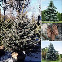 Ель колючая форма голубая (Picea pungens f. glauca) форм. / H 140-150 /  ком
