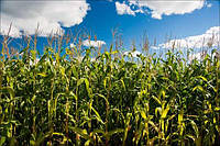Групи стиглості гібридів кукурудзи
