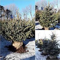 Ель колючая форма голубая (Picea pungens f. glauca) / H 150-200 / ком
