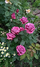 Роза Клод Брассер (Claude Brasseur)  Ч/Г, фото 2