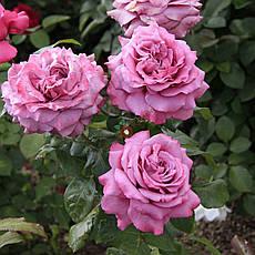 Роза Клод Брассер (Claude Brasseur)  Ч/Г, фото 3