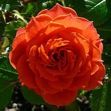 Роза Оранж Мейландина (Orange Meillandina) Плетистая, фото 3