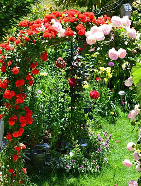 Роза Оранж Мейландина (Orange Meillandina) Плетистая, фото 2